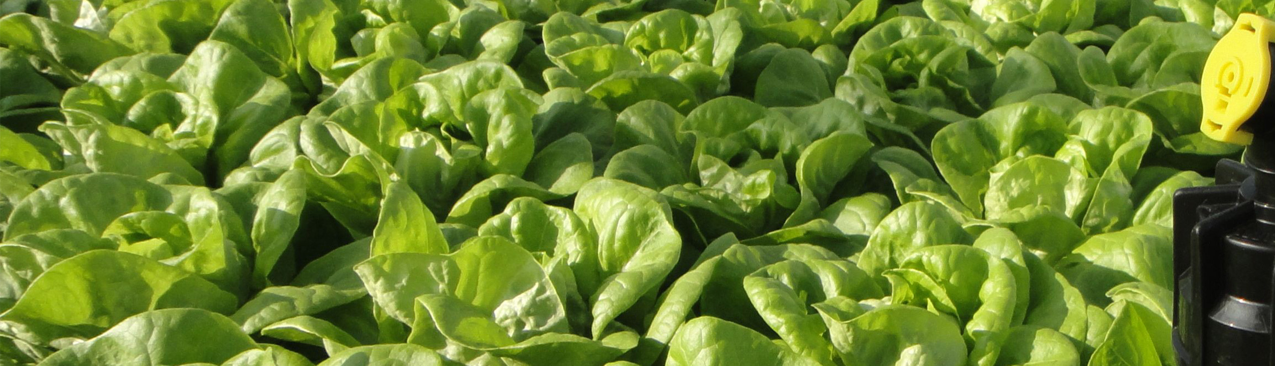 Kopfsalate präzise bewässern mit Green Fox Service AG